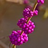 American Beautyberries are frequently spotted by hikers along trails throughout the eastern half of Oklahoma.