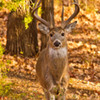 A stately 8-point whitetail buck roams the Wichita Mountains Wildlife Refuge near Lawton.  In addition to deer, the refuge is home to free-ranging elk, bison and longhorn cattle herds along with a wide variety of other bird and wildlife species.