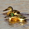 A pair of Northern Shovelers swim in a pond in Norman.
