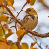 A first-winter Harris's sparrow at Sutton Wilderness in Norman.