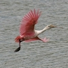 A Roseate spoonbill takes flight from the water at Red Slough Wildlife Management Area near Idabel in southeast Oklahoma.
