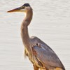 This Great Blue Heron was spotted wading in Norman.