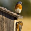 A pair of Eastern Bluebirds on a nest box in Norman.