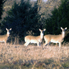 A trio of female whitetail deer in a field near Eufaula.