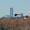 A Northern Harrier flies over a winter field with the Oklahoma City skyline and an oil well in the background.