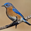 A male Eastern Bluebird perches in a tree in Norman.