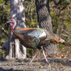Wild turkey are frequently spotted at the Wichita Mountains Wildlife Refuge near Lawton.