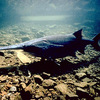 Paddlefish can be found cruising the lake and river bottoms of northeast Oklahoma's waterways searching for food.