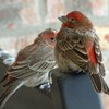 A pair of House Finches find shelter from the snow in Norman.