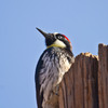 A rarity in Oklahoma, this Acorn Woodpecker was spotted at the Wichita Mountains Wildlife Refuge near Lawton.