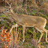 This unusual antlered doe lives at Lake Thunderbird in Norman.