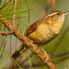 A Carolina Wren in Beavers Bend State Park near Broken Bow.