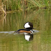 A Hooded Merganser on the Lower Mountain Fork River at Beavers Bend State Park in southeast Oklahoma.