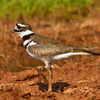 This Killdeer was spotted at Lake Hefner in Oklahoma City.