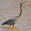 A Great Heron fishing the shallows of Lake Hefner in Oklahoma City.