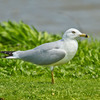 A Ring-billed Gull rests on the shore at Lake Overholser in Oklahoma City.