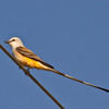 This Scissor-tailed Flycatcher is the first of the 2012 season to be spotted by birders near Lake Thunderbird in Norman.  The Scissor-tailed Flycatcher is the state bird of Oklahoma.