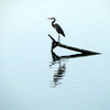 A Great Blue Heron keeps an eye out for dinner at Lake Eufaula.