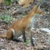 This Red Fox, dubbed Skippy, is frequently spotted near Pine Lodge Resort on Grand Lake in northeast Oklahoma.