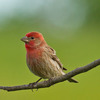 This House Finch was spotted in Norman.