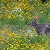 This wild rabbit was spotted amidst a beautiful field of wildflowers near Lake Eufaula.
