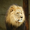A magnificent lion checks out the visitors at the Tulsa Zoo.