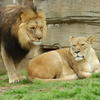 This handsome lion and lioness can be seen by visitors at the Tulsa Zoo.