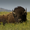 This buffalo was spotted resting on the west side of the Wichita Mountains Wildlife Refuge near Lawton.