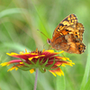 A Pearl Crescent butterfly on an Indian Blanket, the state wildflower of Oklahoma.