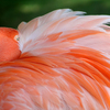 One of the beautiful flamingos at the Tulsa Zoo preens its feathers.
