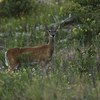 A female whitetail deer at the Chickasaw National Recreation Area in Sulphur.