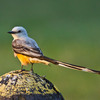 A Scissor-tailed Flycatcher, the state bird of Oklahoma, at Lake Thunderbird State Park in Norman.