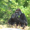 A gorilla snacks on some greens at the Great EscAPE exhibit at the Oklahoma City Zoo, which is consistently ranked among the top zoos in the nation.
