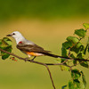 A Scissor-tailed Flycatcher, the state bird of Oklahoma, perched on the limb of a Redbud tree, the state tree of Oklahoma.