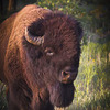 This buffalo is part of the free-roaming herd at the Wichita Mountains Wildlife Refuge near Lawton.