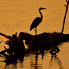 A Great Blue Heron at dawn on Lake Thunderbird in Norman.