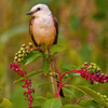 A Scissor-tailed Flycatcher perched on poke berries at Lake Thunderbird State Park in Norman.  The Scissor-tailed Flycatcher is the state bird of Oklahoma.