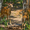 Triplet whitetail fawns near Lake Quanah Parker in the Wichita Mountains Wildlife Refuge near Lawton.
