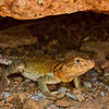 A Collared lizard, also known as a Mountain Boomer, in his lair beneath a red granite boulder in the Wichita Mountains Wildlife Refuge in Lawton.  The Mountain Boomer is the state reptile of Oklahoma.