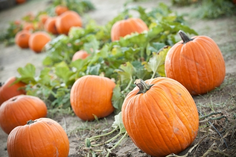 Take your pick of plump pumpkins on a visit to the Woodbine Farms Pumpkin Patch in Ardmore.