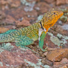 This colorful male Collared Lizard was spotted in the Wichita Mountains Wildlife Refuge near Lawton.  The Collared Lizard, also known as the Mountain Boomer, is the state reptile of Oklahoma.