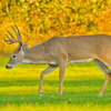 This whitetail buck deer was spotted at Lake Thunderbird in Norman.