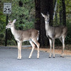 Two Whitetail does spotted crossing the road at Beavers Bend State Park in Broken Bow.