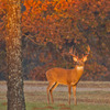 Early morning lights up a big whitetail buck near Lake Thunderbird in Norman.
