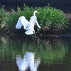An egret lands on the water at Illinois River in Tahlequah.