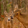 A tender moment is captured as a doe nuzzles her almost grown fawn near Lake Thunderbird in Norman.
