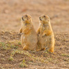 A pair of prairie dogs check out their surroundings at the Wichita Mountains Wildlife Refuge near Lawton.