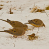 Mourning Doves and a sparrow forage in the snow in Norman.