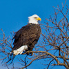 This mature Bald Eagle was spotted perched near the Arkansas River in eastern Oklahoma.  Several eagle watching tour events are held across Oklahoma during the winter months when eagles nest in the Sooner State.