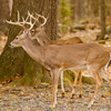 Two whitetail bucks along the Mountain Fork River in Beavers Bend State Park.